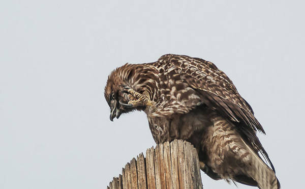 Wall Art - Photograph - Adult Accipiter by Rick Mosher
