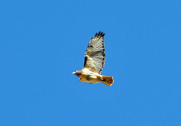 Wall Art - Photograph - Red Tailed Hawk by Alan Lenk