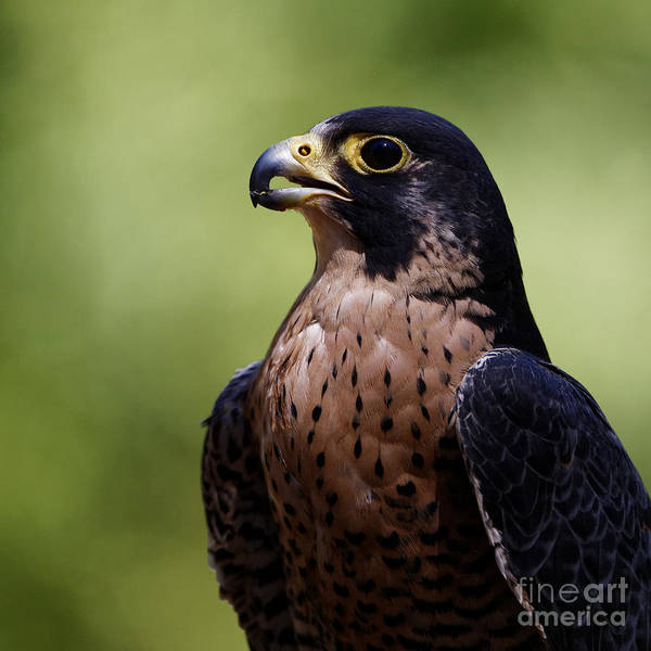 Photograph - Peregrine Falcon - Beak Open by Sue Harper