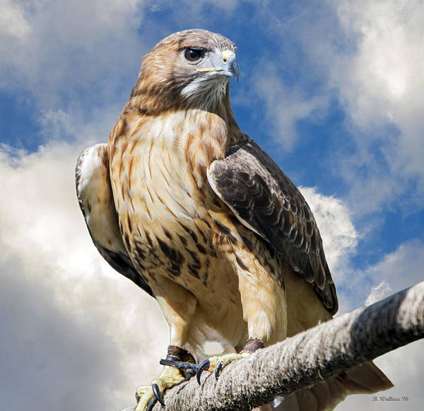 Ish Wall Art - Photograph - Red-tailed Hawk by Brian Wallace