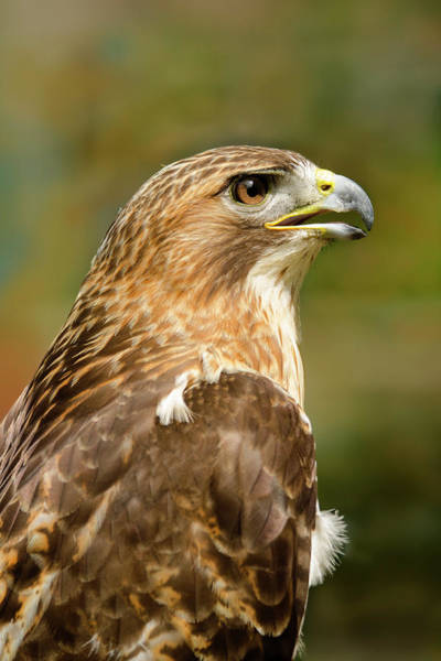 Wing Back Photograph - Red-tailed Hawk Close-up by Ann Bridges