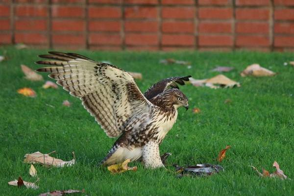 Photograph - Red-tailed Hawk Eating Dinner - 4 by Christy Pooschke