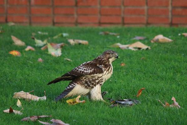 Photograph - Red-tailed Hawk Eating Dinner - 6 by Christy Pooschke