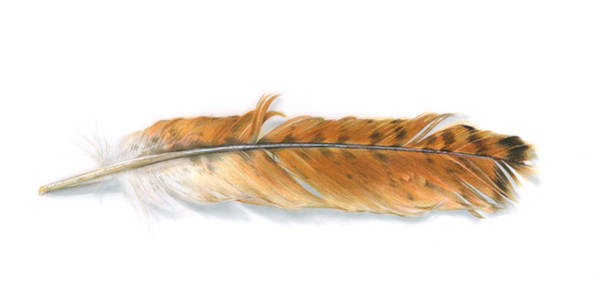 Red Drawing - Red-tailed Hawk Feather by Logan Parsons