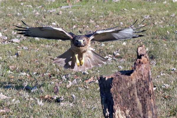 Photograph - Red Tailed Hawk Flying In by Dan Friend