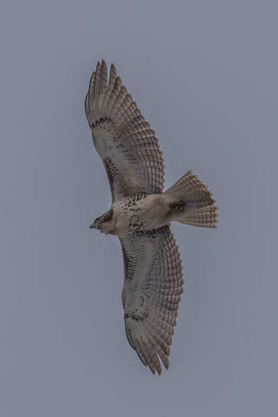 Wall Art - Photograph - Red Tailed Hawk Flying by Paul Freidlund