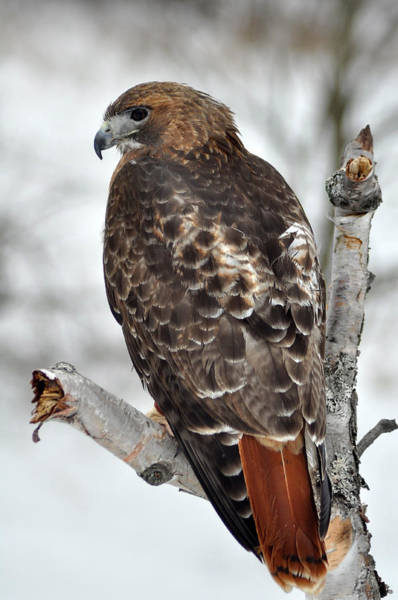 Wall Art - Photograph - Red Tailed Hawk by Ginger Harris