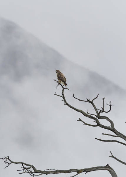 Photograph - Red Tailed Hawk - Glacier Np by Belinda Greb