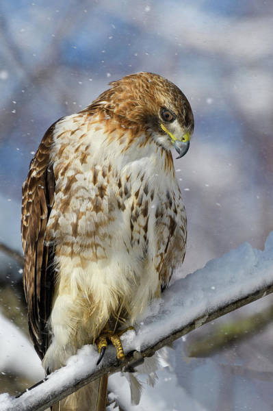 Photograph - Red Tailed Hawk, Glamour Pose by Michael Hubley