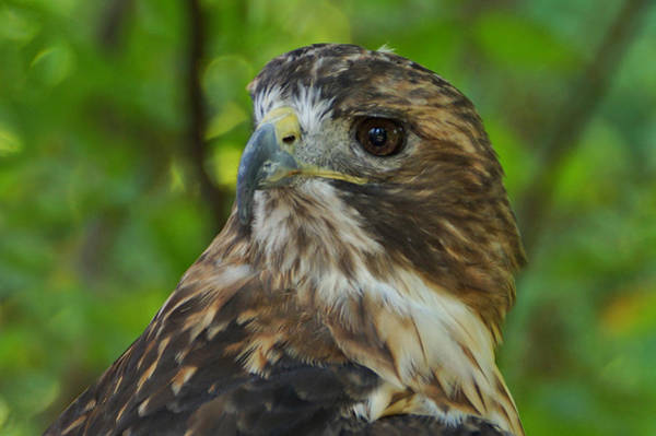 Photograph - Red-tailed Hawk 3 by Sandy Keeton