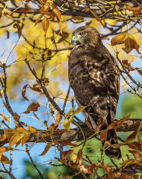 Wall Art - Photograph - Red-tailed Hawk In Fall Color by Dawn Key