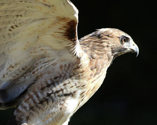 Red-tailed Hawk In Profile Art Print