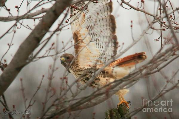 Wall Art - Photograph - Red-tailed Hawk On A Post by J McCombie