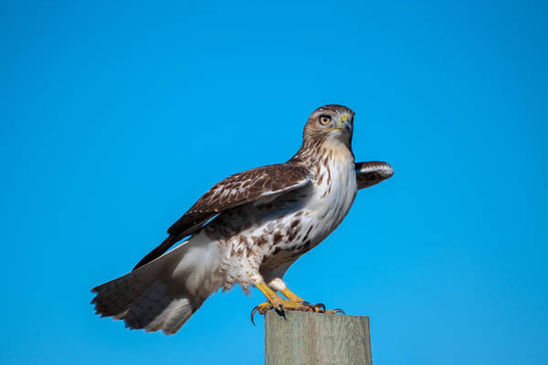 Photograph - Red-tailed Hawk On Post by Jeff Phillippi