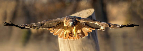 Photograph - Red-tailed Hawk On The Hunt by Judi Dressler