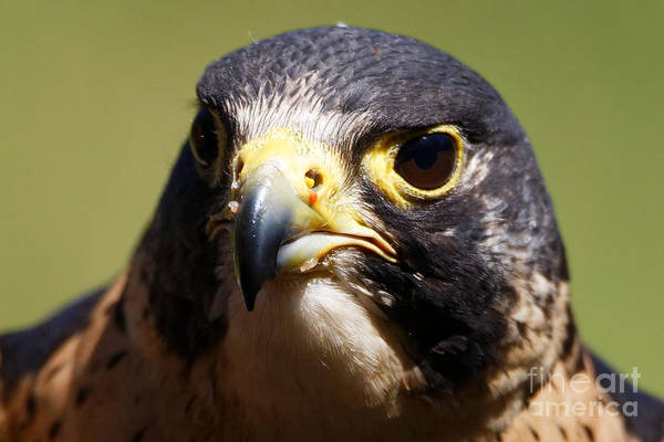 Photograph - Peregrine Falcon Portrait by Sue Harper