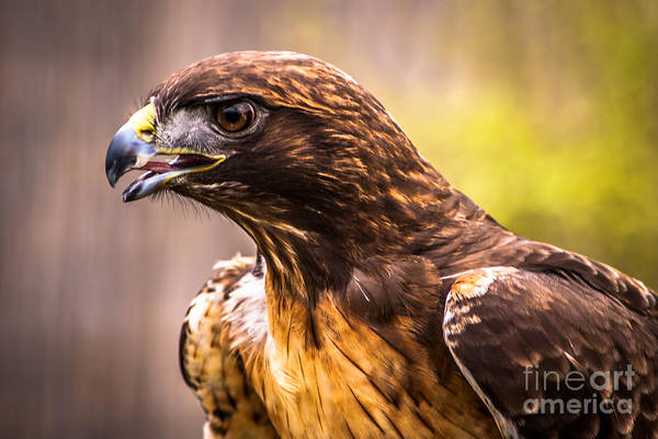 Red Tailed Hawk Profile Art Print