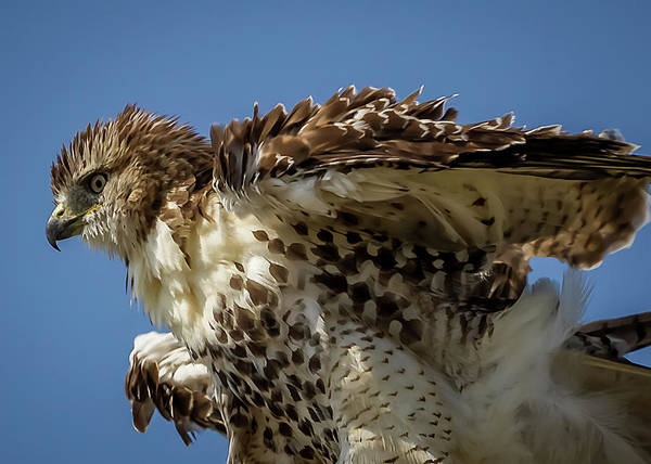 Photograph - Red-tailed Hawk by Ron Pate