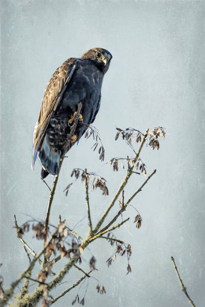 Photograph - Red-tailed Hawk, Rufous Morph by Belinda Greb