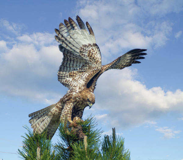 Photograph - Red Tailed Hawk Wings 2 by Rick Mosher