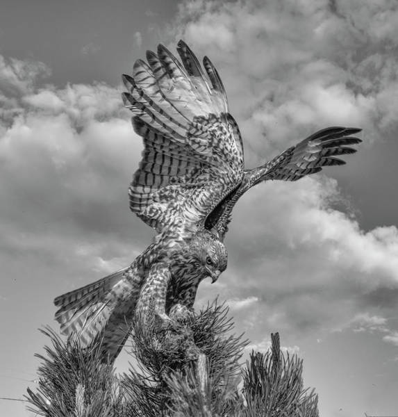 Photograph - Red Tailed Hawk Wings Bw by Rick Mosher