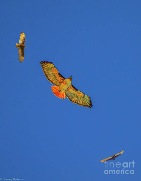 Norco Photograph - Red Tailed Hawks by Tommy Anderson