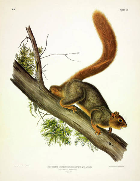 Red Squirrel Wall Art - Painting - Red-tailed Squirrel by John James Audubon