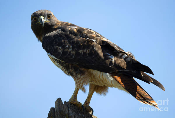 Red Tailed Hawk Photograph - Red-tailed Stare by Mike Dawson