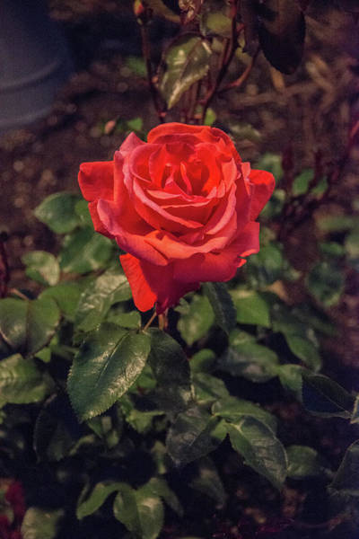 Photograph - Red Tea Rose At Night by Michael Bessler