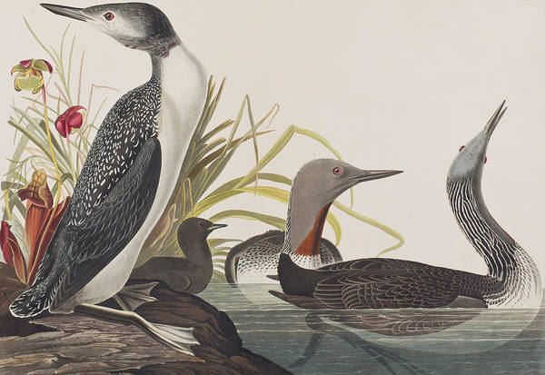 Feather River Wall Art - Painting - Red-throated Diver by John James Audubon