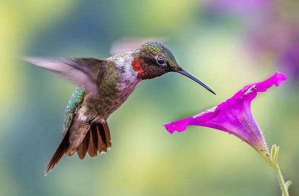 Photograph - Red Throated Hummingbird by Allin Sorenson