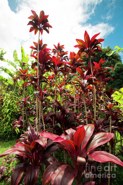 Wall Art - Photograph - Red Ti Tropical Gardens Hawaiian Ti Plant Wailua Maui Hawaii by Sharon Mau