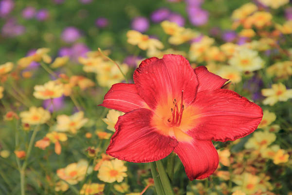 Photograph - Red Tiger Lily In A Field Of Yellow by Angela Murdock