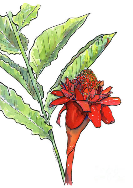 Painting - Red Torch Ginger by Diane Thornton