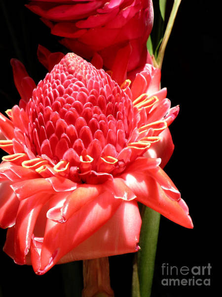 Jim Temple Photograph - Red Torch Ginger by James Temple