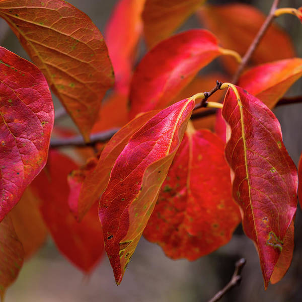 Photograph - Red Tree Leaf by Edgar Laureano