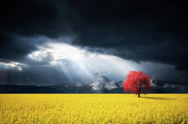 Moon Flower Photograph - Red Tree On Canola Meadow by Bess Hamiti