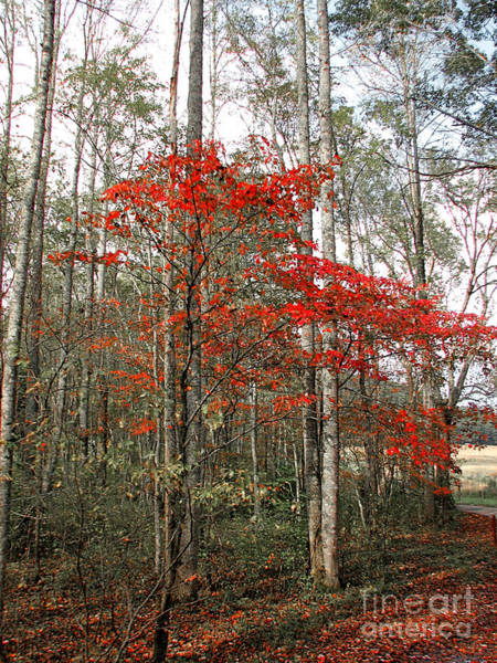 Photograph - Red Tree by Todd Blanchard