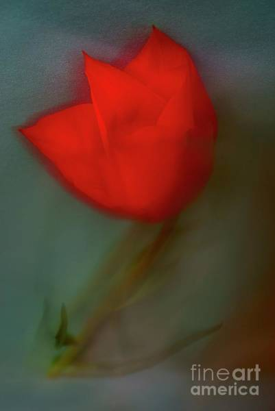 Alexander Vinogradov Photograph - Red Tulip. by Alexander Vinogradov