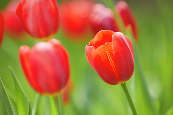 Photograph - Red Tulip by Garden Gate magazine