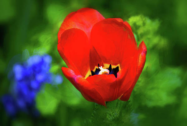 Impasto Photograph - Red Tulip - Impasto Blur by Steve Harrington