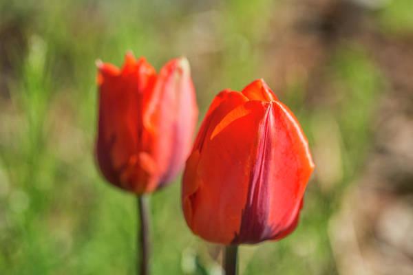Wall Art - Photograph - Red Tulip by Iris Richardson