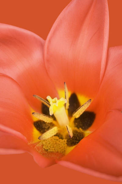 Photograph - Red Tulip by Marc Huebner