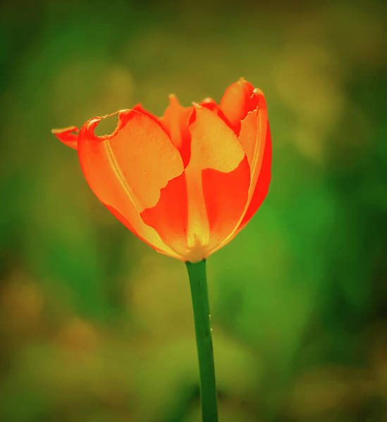 Photograph - Red Tulip May 2016 #1 by Leif Sohlman