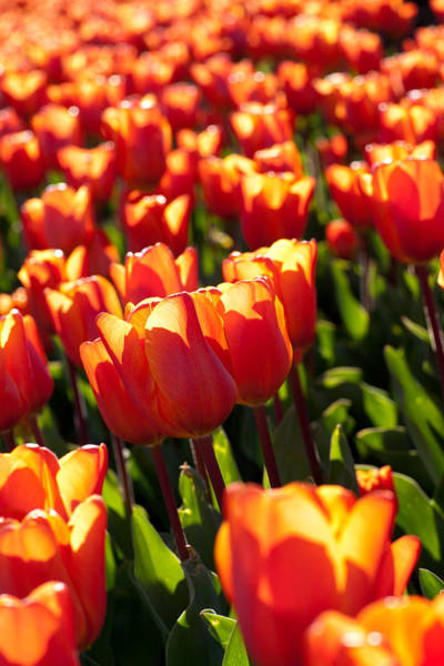 Photograph - Red Tulips by Francesco Emanuele Carucci