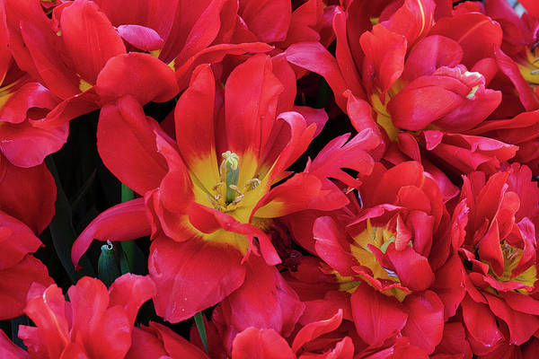 Wall Art - Photograph - Red Tulips by Jerry Fornarotto