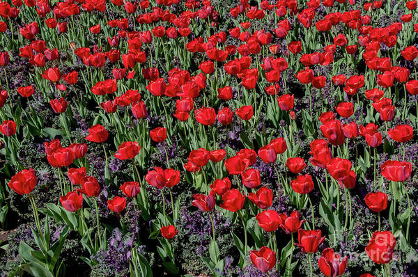 Photograph - Red Tulips by Mae Wertz