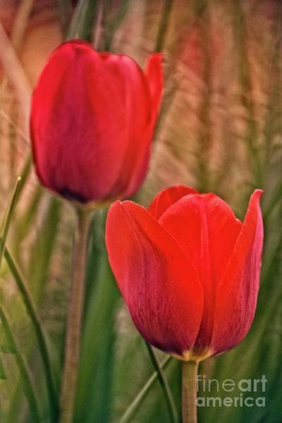 Photograph - Red Tulips by Mary Machare