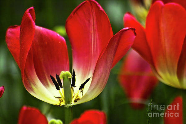Photograph - Red Tulips Petals by Heiko Koehrer-Wagner