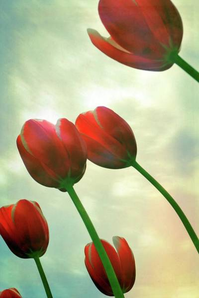 Wall Art - Photograph - Red Tulips With Cloudy Sky by Michelle Calkins